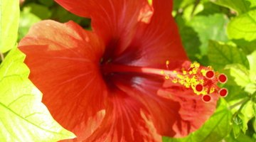 Tropical hibiscus are colourful and exotic.