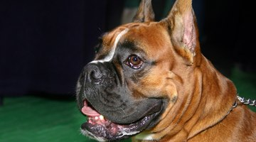 Boxers are prone to histiocytoma.