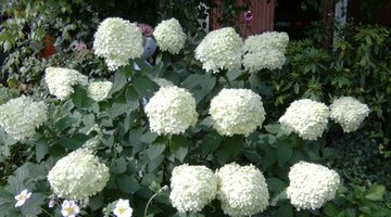 Hydrangeas are known for changing the colour of their blooms due to the acidity of the soil.