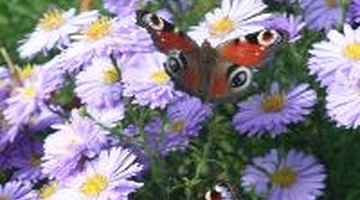 Remove caterpillars carefully and enjoy the beauty of butterflies.