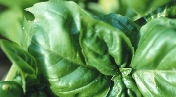 The rich green of basil transfers well to the plate.