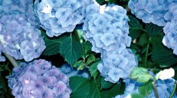 The rough leaves of the hydrangea shrub will not attract slugs.