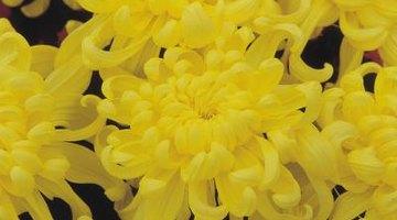 Sunny yellow dahlias brighten rock gardens.