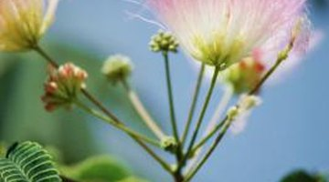 Silky mimosa bears rosy pink and white flowers.