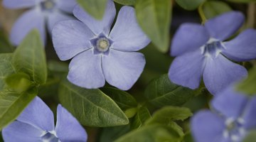 Forget-me-not flowers bloom in gardens through most of the spring season.