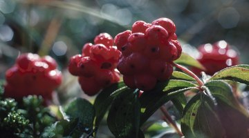 Red berries add colour to the garden.