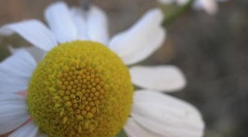 Chamomile flowers are sometimes confused with daisies.