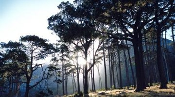 Fires clear out underbrush and open the forest to the sunlight pines need.