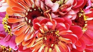 Variegated colours of dahlias provide garden interest.