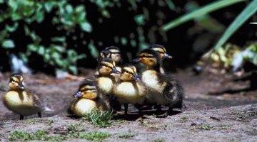 Mallard ducklings have dark bills.