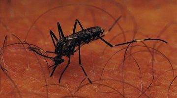 Mosquitos portam doenças mortais, como a malária, encefalite e vírus do Nilo Ocidental