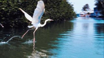 The hovering and stirring hunting behaviour is one way herons catch their dinner.