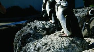 Zoologists strive to create a natural habitat for penguins.