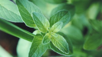 Mint is a relatively fuss-free herb to grow.