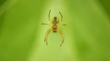 Some spiders use their webs only for resting.