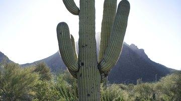 Cómo tratar las heridas de cactus