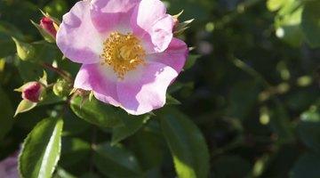 Close-up of pink rugosa rose