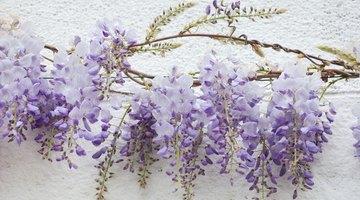 Train wisteria to grow along a wire.