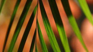 Bamboo palms have feather-like foliage.