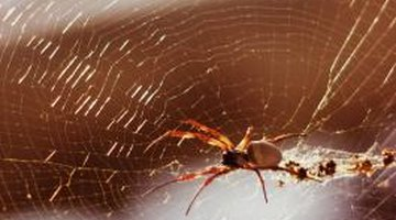 Spiders snack on oak-dwelling insects.