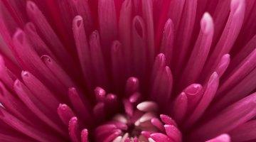 As abelhas ficam afastadas do jardim quando são plantados cravos, rosas e crisântemos
