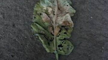 Mealybugs and other insects can damage plant leaves.