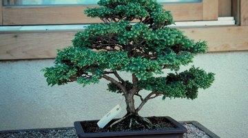 Faça uma árvore em miniatura como um bonsai!
