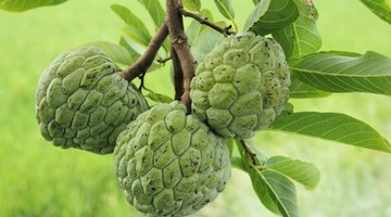 How to Eat Cherimoya