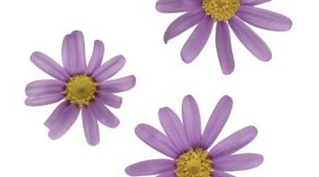 Marguerites come in many colours and different flower shapes.