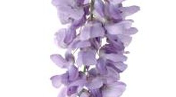 Numerous factors contribute to blooming failure in wisterias.