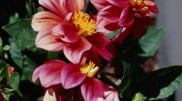 Dahlias aren't always a mass of petals.