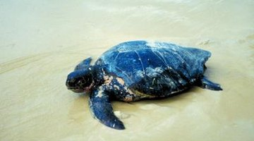 Sea turtles build their nests beneath the sand on the beaches.
