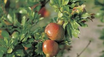 Pomegranates grow well inside containers and produce edible fruits.