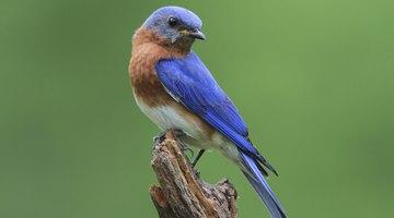 Male Eastern bluebird.
