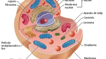 Lista de los organelos celulares y sus funciones