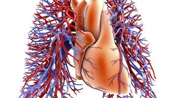 Funciones del sistema circulatorio humano