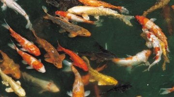 An aeration system will help to keep fish alive.