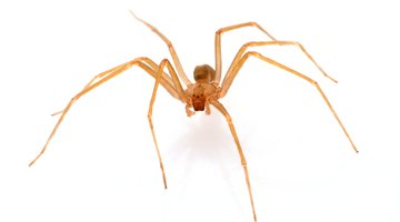 Brown Recluse Spider on white background with shadow