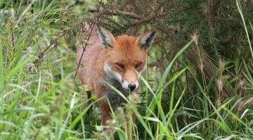 fox in grassy area