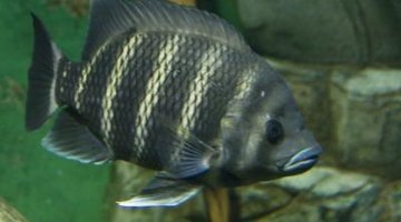 Tilapia grow quickly and will eat almost anything.