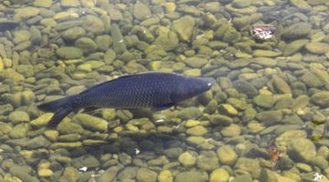 Carp can reach over 60 lbs. in weight.