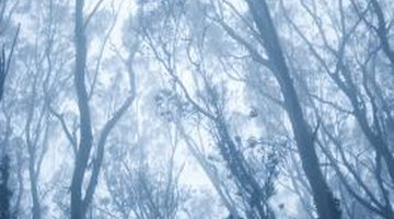 Some species of Eucalyptus can reach more than 400 feet in height..