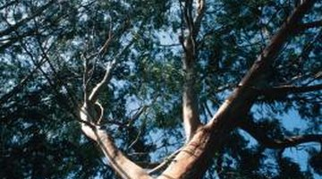 Eucalypts grown in natural forests with a canopy and competition grow tall and straight.