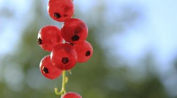 What Are the Benefits of Red Currant?
