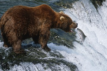 A bear attempting to catch a salmon swimming up river.