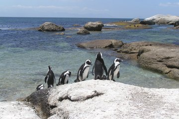 Cape Point penguins in South Africa