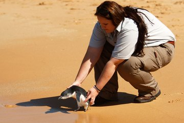 Vetenrinary nurse releases a rescued adult little penguin back into the wild near Sydney, Australia
