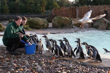 Zookeepers feed penguins at the London Zoo