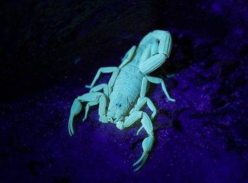 How Dangerous Are Caribbean Scorpions?