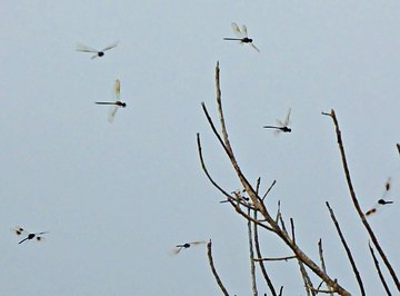 Why Are the Barn Swallows & Dragonflies Swarming?